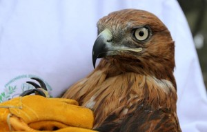 A Long-Legged Buzzard that had suffered a broken wing during the summer and had been rehabilitated by the EEC staff was released during the Fourth Annual Bird Ringing and Monitoring Week in Palestine.