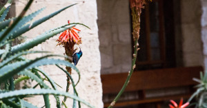 A Palestine Sunbird sips on nectar in the courtyard of the Evangelical Lutheran Church of the Redeemer in Jerusalem. (© D. Hudson)